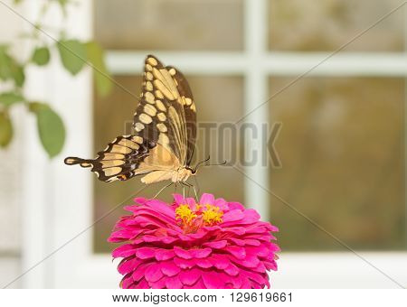 Giant Swallowtail butterfly feeding on a flower in front of a window in a sunny summer garden