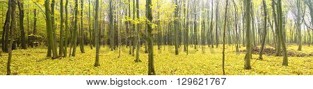 Colorful and foggy autumn forest. Nature composition.