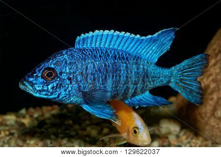Nice blue OB male of cichlid fish from genus Aulonocara