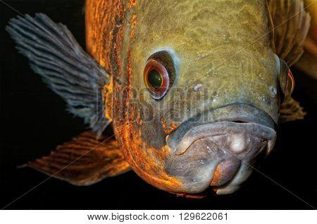 Detail portrait of head of oscar aquarium fish