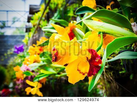Beautiful Yellow Orchid, Phalaenopsis.  Selective Focus, Toned