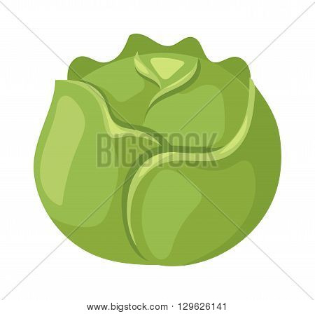 Group of brussel sprouts isolated on white background. Brussels sprouts vector and brussels sprouts organic healthy food. Brussels sprouts green vegetable and nutrition brussels sprouts.