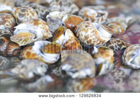 Spotted babylon or Babylonia areolata shell at the market