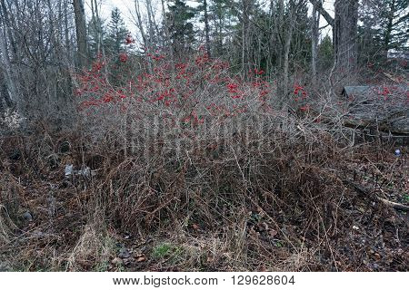 Clusters of red berries cling to a highbush cranberry bush (Viburnum trilobum), also called the American cranberry, in Harbor Springs, Michigan during December.