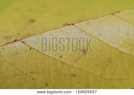 A yellow Autumn Mulberry leaf, in closeup, showing the distinctive veins.