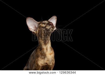 Closeup Portrait of Brown Oriental Cat With Extremal Big Ears Looking up Black Isolated Background