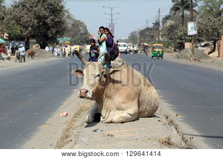 KOLKATA, INDIA - FEBRUARY 09: Cow resting between two lanes of a busy street in Kolkata, West Bengal, India, on February 09, 2014.