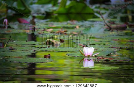 Ninfea galleggiante sul lago del giardino botanico