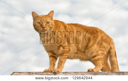 Ginger tabby cat looking at the viewer, against cloudy skies