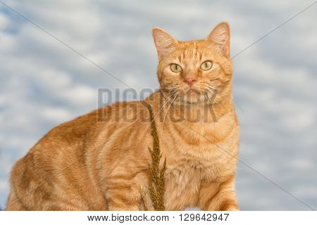 Handsome ginger tabby cat against cloudy skies