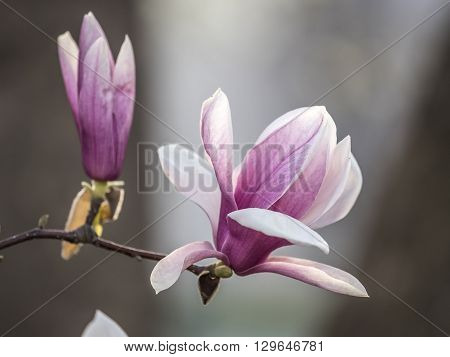 Magnolia soulangeana saucer magnolia is a hybrid plant in the genus Magnolia and family Magnoliaceae