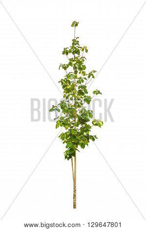 Tree isolated on white background - teak