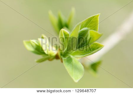 large bright spring bud of lilac on a sunny day