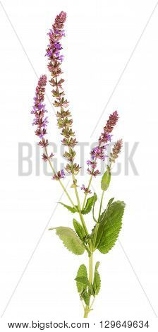 Macro branch of sage isolated on white background