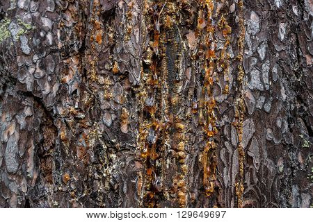 drops of amber pitch flow down on pine bark