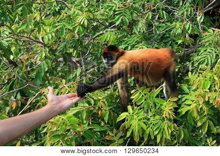 black-handed spider monkey takes food from human hand