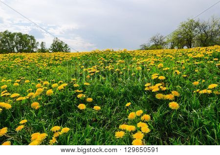 Meadow of blooming dandelions with a blurred background