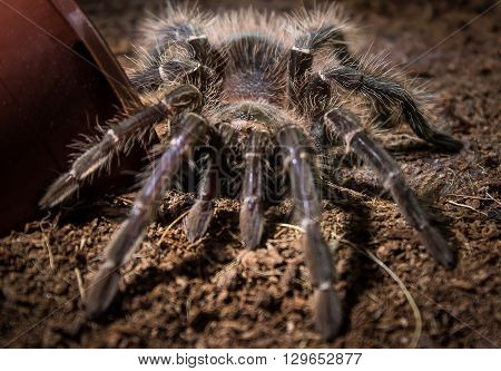 Salmon pink birdeater tarantula female in captivity