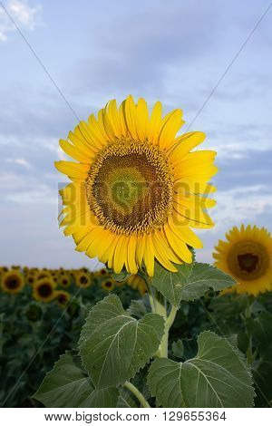 Landscape with a sunflower on the field. Blooming sunflowers and background sky with clouds