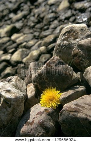 water, yellow, gray, one, nature, flower, wet, backgrounds, isolated, color, coast, black, beauty, natural, river, stones, dandelion, sunny day, background stones, several pieces