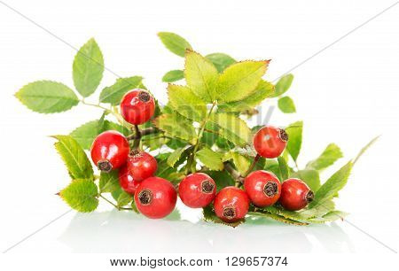 branch of wild rose with green leaves and ripe berries close-up on a white background