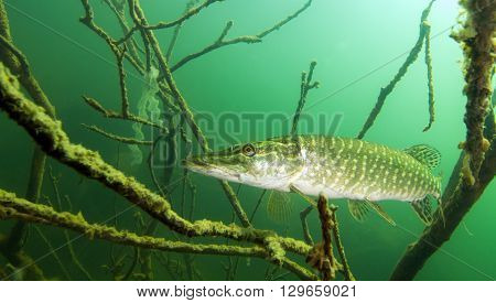 Picture shows a Pike in the Austrian lake Erlaufsee