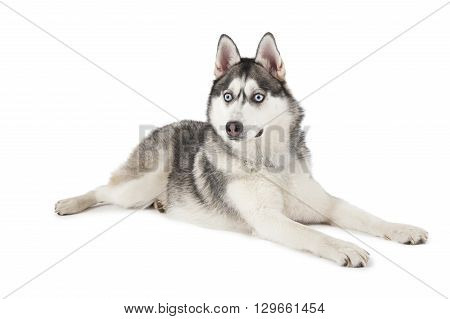 Purebred Siberian Husky dog lying in front of white background and looking forward
