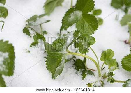 Top view of strawberry seedling growing in a garden covered with hail or snow.