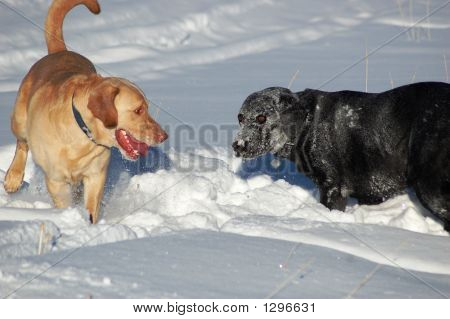 Labs In The Snow
