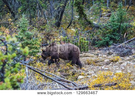 Autumn forest in Jasper National Park. Big brown bear looking for edible roots, berries and acorns