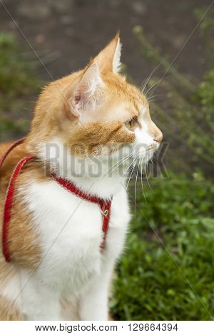 Cute White-red Cat In A Red Collar