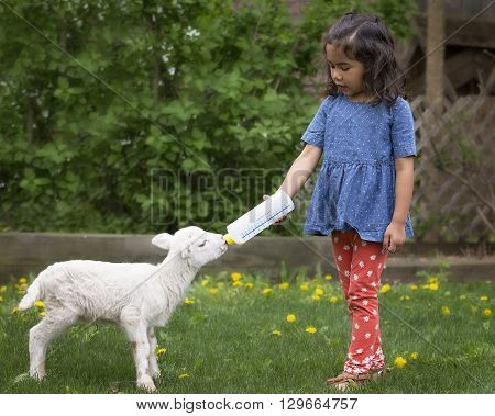 Young, Asian-American girl bottle feeding a baby lamb