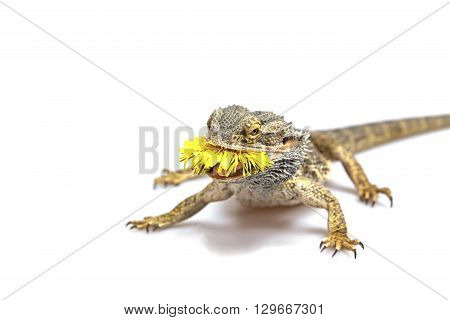 Front view od the agama lizard standing on the light background. The yellow blossom of dandelion is in its mouth. Everything is on a light background.