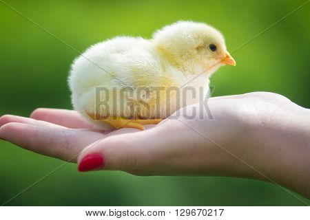 Holding a small newly hatched yellow Chicken. The little chick in hands.