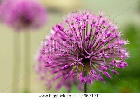 purple persian onion flower over blurred background shallow depth