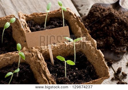 Sprouting tomato seedlings with cardboard and copy space