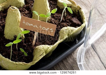 Tomato seedlings in mini-greenhouse with cardboard and lettering