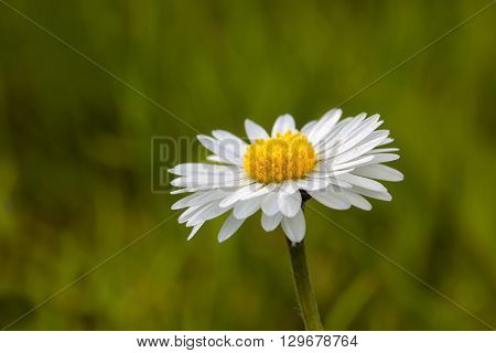 Bright daisies - macro of a freshly bloomed daisy