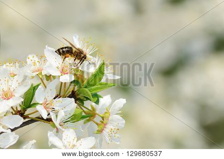 Bee on cherry plum blossoms gathering pollen in spring.