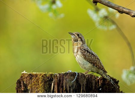 Eurasian Wryneck (Jynx torquilla) sitting on a stump and sounds seem attractants partner. You see slightly open beak and camouflaging plumage. Photo on a beautiful green-yellow background with white flowers. Shallow depth of field. Spring in Poland. Close