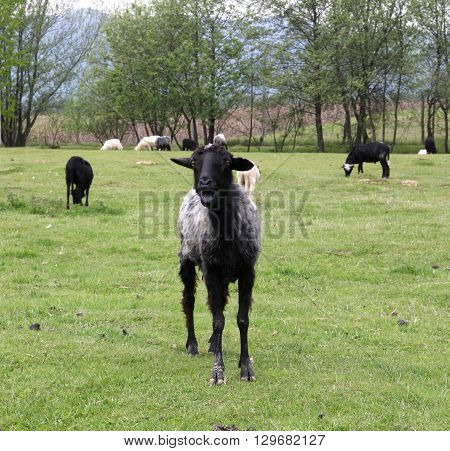 Black goat standing on a green field and looking at the photographer