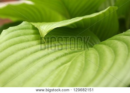Green leaves natural background. Bright foliage in spring high resolution wallpaper