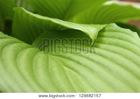 Green flower leaves natural background. Bright spring foliage high resolution wallpaper