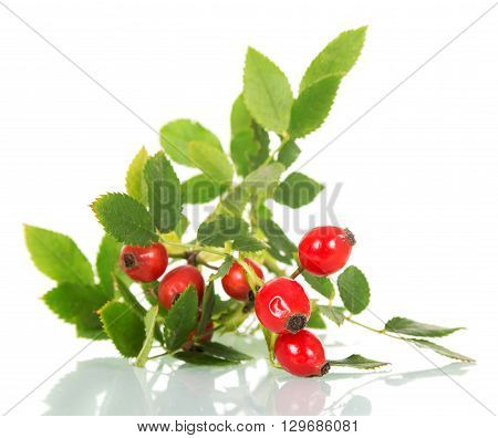 Fresh branch of wild rose with green leaves isolated on white background