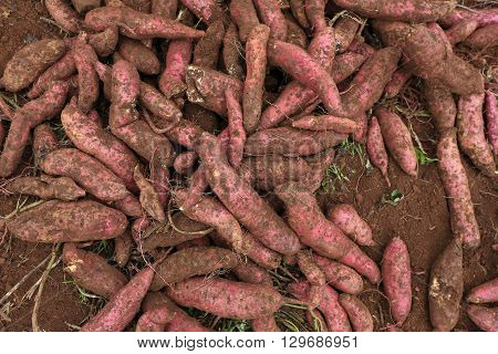 Harvesting sweet potatoes in the field in Dalat, Vietnam
