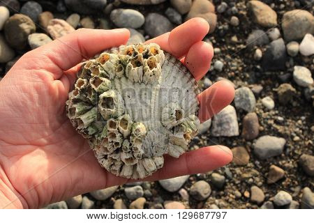 A person holding a barnacle crusted clam shell at the beach.