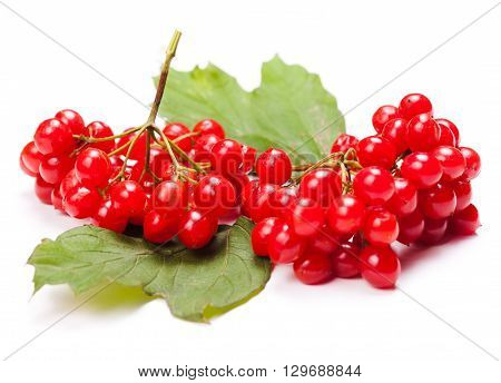 Viburnum berries on a twig with leaves isolated on white