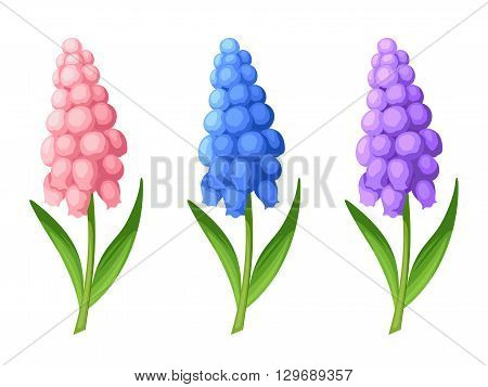 Set of three vector pink, blue and purple grape hyacinth flowers isolated on a white background.