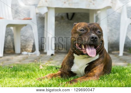 Dog Staffordshire bull terrier lying on green grass with smile on his muzzle and lolling tongue during sunny day.