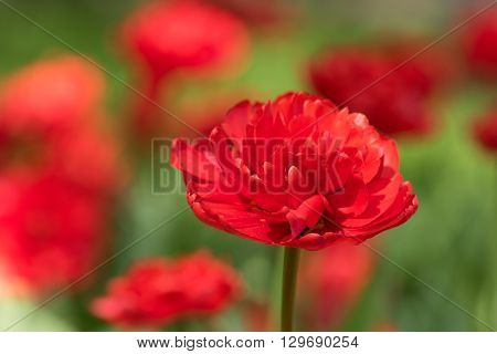 Tulips Varieties Miranda